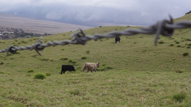 Cows in Waimea