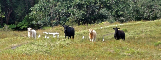 Hawaii- The 4 Cows of the Apocalypse Block the Path on Buster Brown Hill, Waimea - Version 2